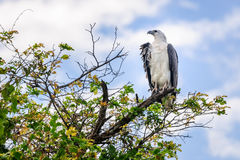 A majestic Sea Eagle at Corroboree Billabong in Northern Territory, Australia. A majestic white bellied sea eagle on top of a tree at Corroboree Billabong in Royalty Free Stock Photos