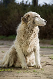 Majestic. White dog in the great outdoors Stock Photo