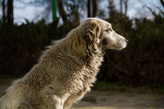 Majestic. White dog in the great outdoors Stock Images