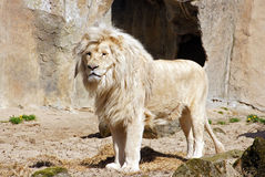 Majestic white Lion. Standing in front of a cave royalty free stock photos