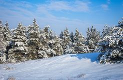 Majestic white spruces, covered with hoarfrost and snow Stock Images