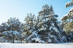 Majestic white spruces, covered with hoarfrost and snow Royalty Free Stock Images