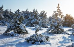Majestic white spruces, covered with hoarfrost and snow Stock Photography