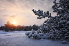 Majestic white spruces, covered with hoarfrost and snow Stock Photo
