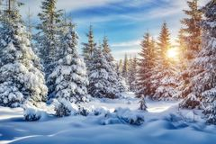 Free Majestic White Spruces Glowing By Sunlight. Royalty Free Stock Image - 130015656