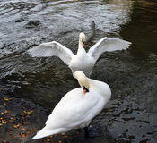 Majestic white swans Stock Photography
