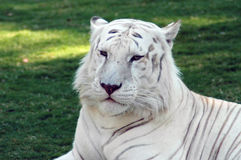 Majestic White Tiger Royalty Free Stock Image