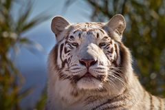 Majestic White Tiger Stock Images