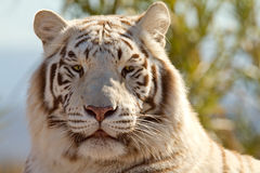 Majestic White Tiger Stock Photography