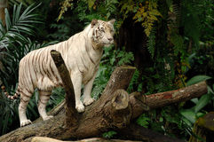 Majestic White Tiger. White Tiger Alert and Looking Royalty Free Stock Photos