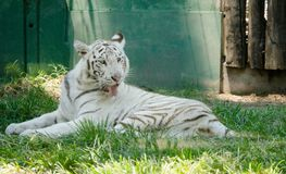 White tiger cleaning his fur. Majestic white tiger cleaning his fur lying in the grass Royalty Free Stock Photography