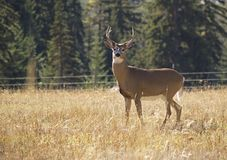 A Majestic Whitetail Buck. This picture of the majestic whitetail buck looking at me was taken in western MT Royalty Free Stock Image
