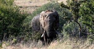Elephant in Pilanesberg, South Africa wildlife safari. Majestic wild African Elephant in Pilanesberg Game reserve. South Africa wildlife safari stock video footage