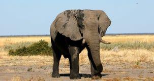 Elephant in Chobe, Botswana, Africa wildlife safari. Majestic wild African Elephant in Savuti - Chobe Game reserve. Botswana, Africa wildlife safari stock video footage