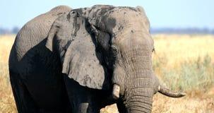 Elephant in Chobe, Botswana, Africa wildlife safari. Majestic wild African Elephant in Savuti - Chobe Game reserve. Botswana, Africa wildlife safari stock video
