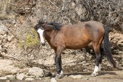 Majestic Wild Horse in the Arizona Desert Stock Images