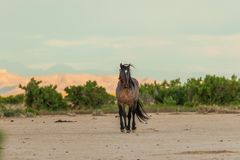 Majestic Wild Horse Stallion. A majestic wild horse stallion in the Utah desert Stock Photography