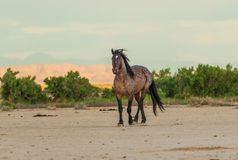 Majestic Wild Horse Stallion in the Desert. A majestic wild horse stallion in the Utah desert Royalty Free Stock Image