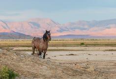 Majestic Wild Horse Stallion in the Utah Desert. A majestic wild horse stallion in the Utah desert Stock Photography