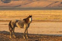 Majestic Wild Horse Stallion. A majestic wild horse stallion in the Utah desert in summer Stock Photo