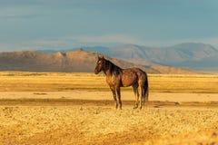 Beautiful Wild Horse Stallion. A majestic wild horse stallion in the Utah desert in summer Royalty Free Stock Photo