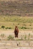 Majestic Wild Horse Stallion. A majestic wild horse stallion in the Utah desert in summer Stock Images