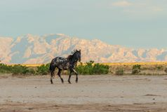 Majestic Wild Horse Stallion in the Utah Desert. A majestic wild horse stallion in the Utah desert in summer Royalty Free Stock Photography