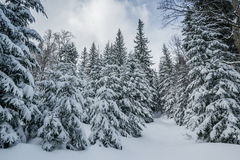 Majestic winter forest Stock Photography