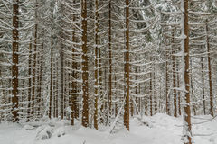 Majestic winter forest Royalty Free Stock Photo