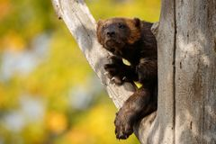 Majestic wolverine hang on a tree in front of the colourful background. Great autumn colors, beautiful animal in the nature habitat, Gulo gulo royalty free stock photography