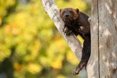 Majestic wolverine hang on a tree in front of the colourful background. Great autumn colors, beautiful animal in the nature habitat, Gulo gulo royalty free stock image