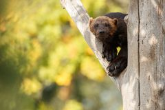 Majestic wolverine hang on a tree in front of the colourful background. Great autumn colors, beautiful animal in the nature habitat, Gulo gulo royalty free stock photo