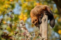 Majestic wolverine hang on a tree in front of the colourful background. Great autumn colors, beautiful animal in the nature habitat, Gulo gulo royalty free stock photos
