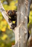 Majestic wolverine hang on a tree in front of the colourful background. Great autumn colors, beautiful animal in the nature habitat, Gulo gulo royalty free stock images