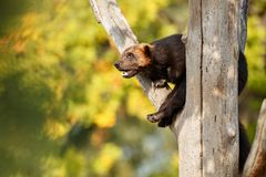 Majestic wolverine hang on a tree in front of the colourful background. Great autumn colors, beautiful animal in the nature habitat, Gulo gulo stock images