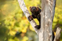 Majestic wolverine hang on a tree in front of the colourful background. Great autumn colors, beautiful animal in the nature habitat, Gulo gulo stock photography