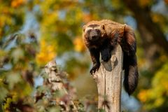 Majestic wolverine hang on a tree in front of the colourful background. Great autumn colors, beautiful animal in the nature habitat, Gulo gulo stock image