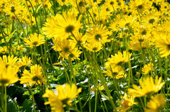 Majestic yellow flower field in summer pasture wilderness Royalty Free Stock Photography