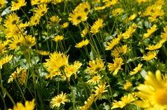 Majestic yellow flower field Stock Photos