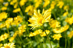 Majestic yellow flower field in summer pasture wilderness Royalty Free Stock Image