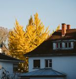 Majestic yellow ginkgo biloba tree in warm yellow autumnal color Stock Photos