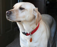 Majestic yellow Lab. Profile of Yellow Labrador Retriever stock photo
