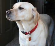 Majestic yellow Lab. Profile of Yellow Labrador Retriever Stock Photo