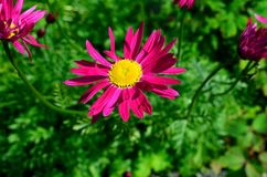 Majestic yellow and pink flower in lush green foliage. In summer sunshine Stock Photo