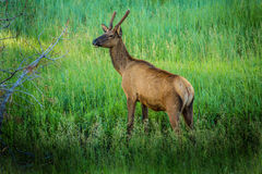 Majestic Young Male Elk In Colorado Royalty Free Stock Photo