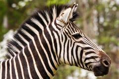 Majestic Zebra Portrait. A beautiful Grant's Zebra isolated profile portrait Stock Images