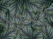 Majestica calathea лист зеленого цвета концепции с падениями дождя иллюстрация штока