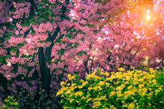Majestically blossoming sakura trees. Soft focus background. Filtered image:cross processed colorful effect royalty free stock photography