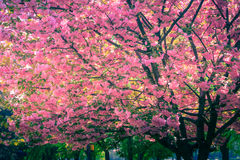 Majestically blossoming sakura trees. Soft focus background. Filtered image:cross processed colorful effect stock images