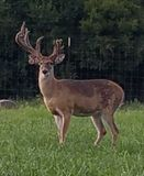 Majestically broken. Huge antler with one side broken on whitetail deer buck standing in grassy field stock photo